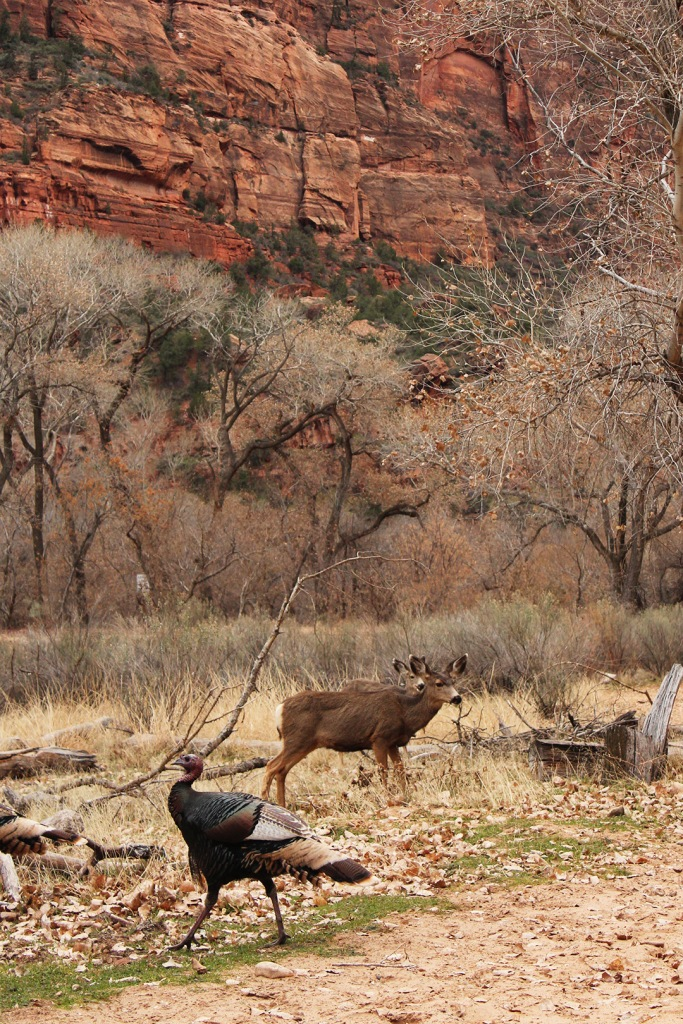 Turkey and deer, Zion NP